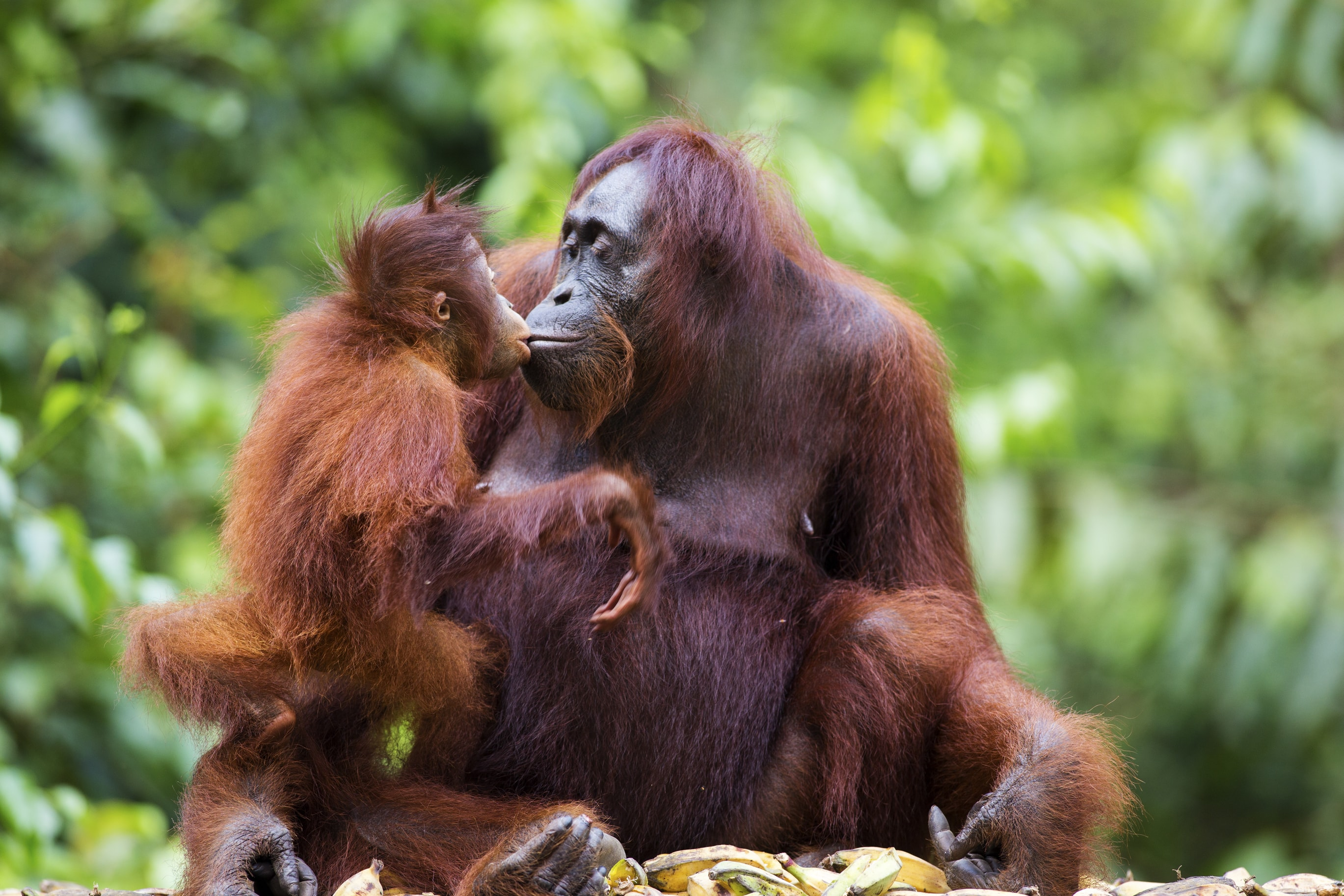Orangutan-Mother-Baby-Kissing