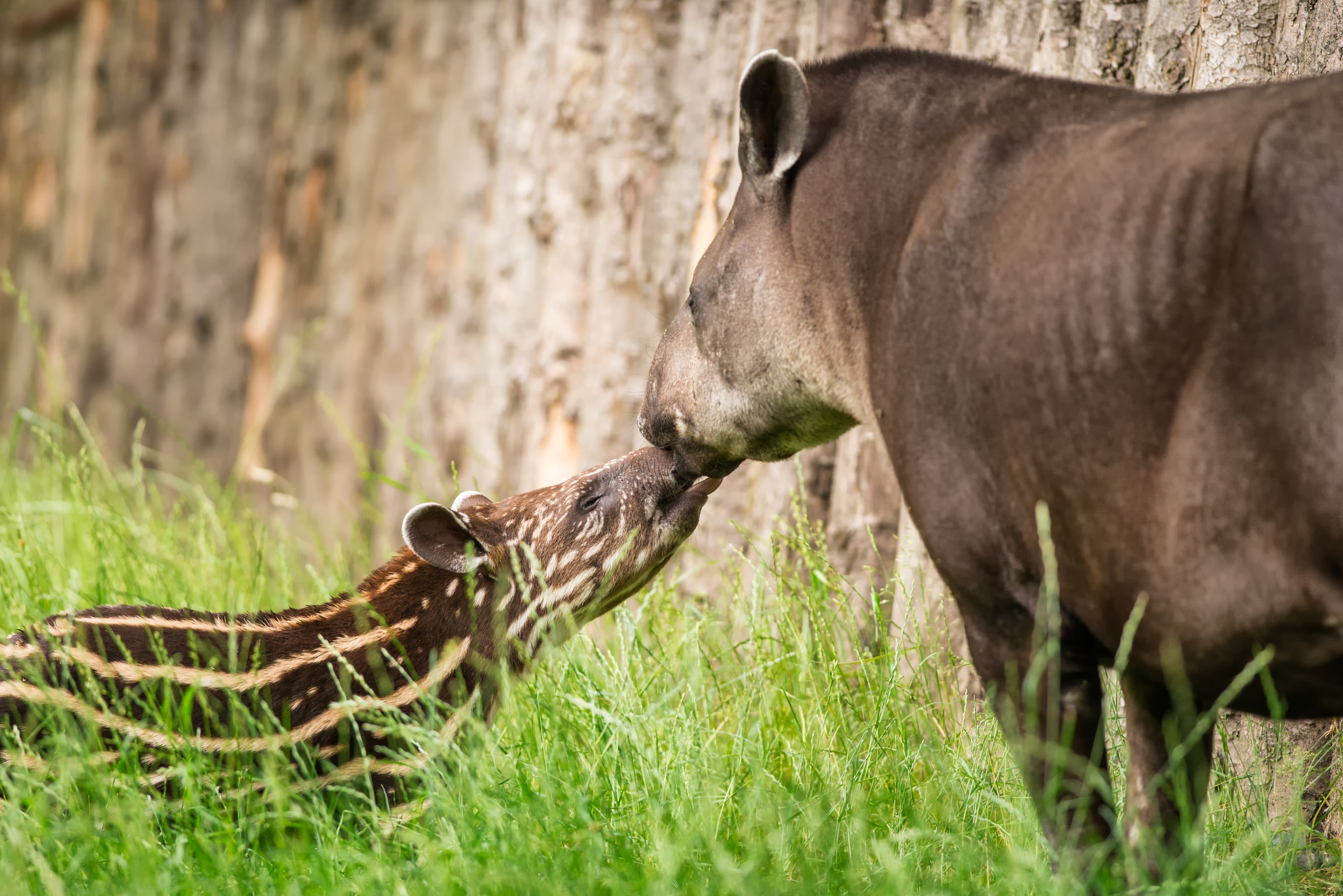 Tapir-Mother-&-Baby-Kissing
